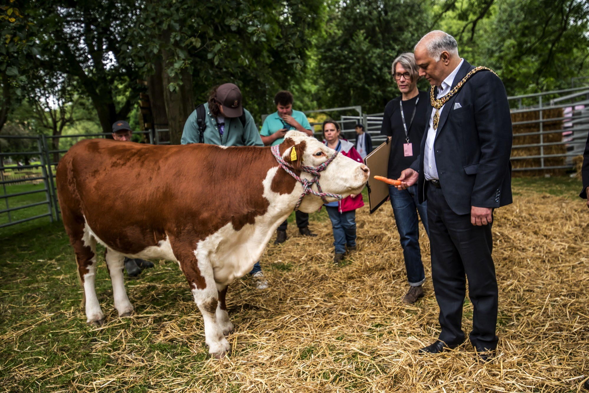 cow looking a mayor of manchester